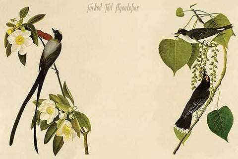 Forked Tail Flycatcher