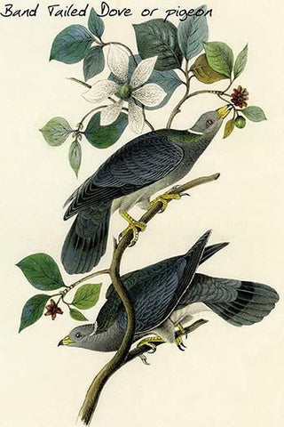 Band Tailed Dove or pigeon