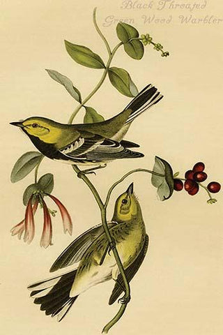 Black Throated Green Wood Warbler
