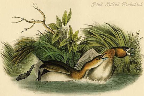 Pied Billed Dobchick