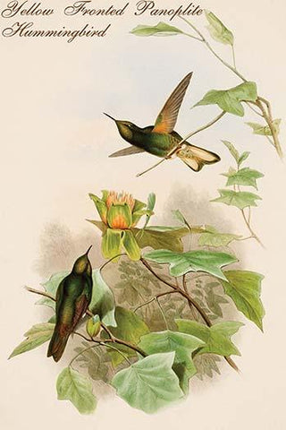 Yellow Fronted Panoplite Hummingbird