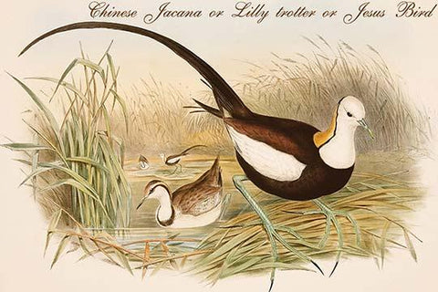 Chinese Jacana or Lilly trotter or Jesus Bird