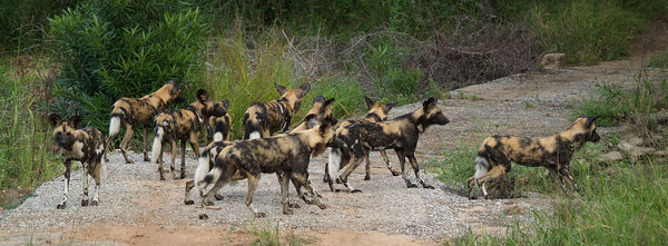 African Wild Dogs from wikipedia