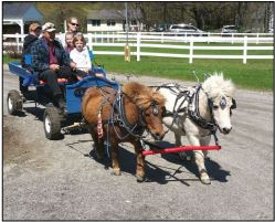 Be Lapointe with Miniature Horses Buddy and Silver at Skyline Farm