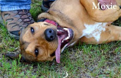 Triple Mountain's charity account helps dogs like Moxie at Harvest Hills