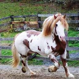 BHR Bryants Jake - American Spotted Draft Horse