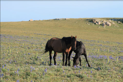 Jackson and Mandan of the  Pryor Mountain Herd by Abbie Branchflower - Triple Mountain