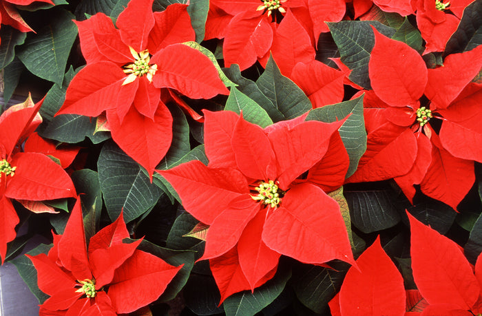 Caring for Poinsettias