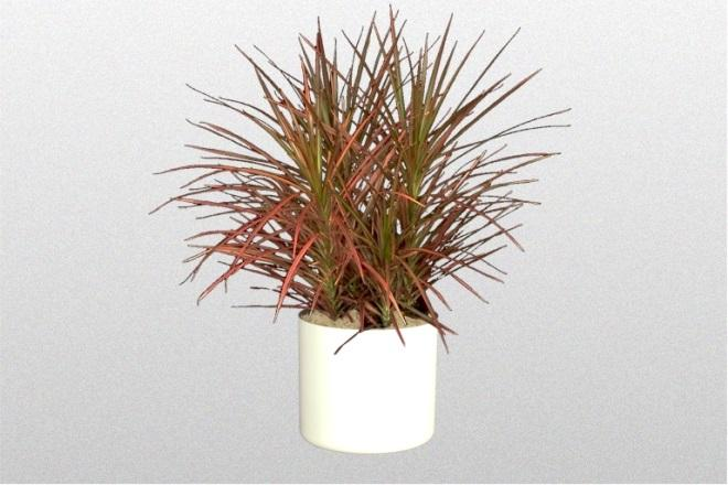 How To Care For A Red-Leaved Dracaena
