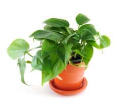 How To Care For A Heartleaf Philodendron