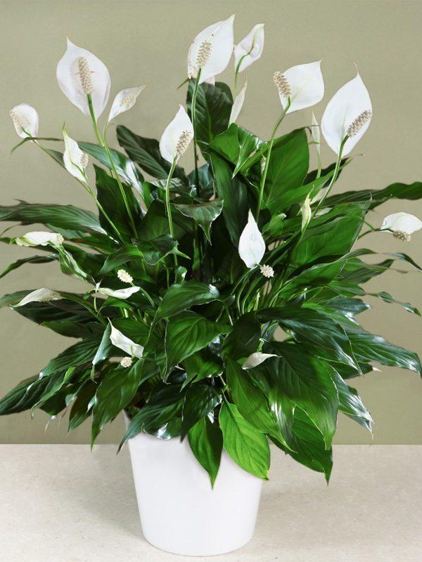 How To Care For A Peace Lily Decker S Nursery