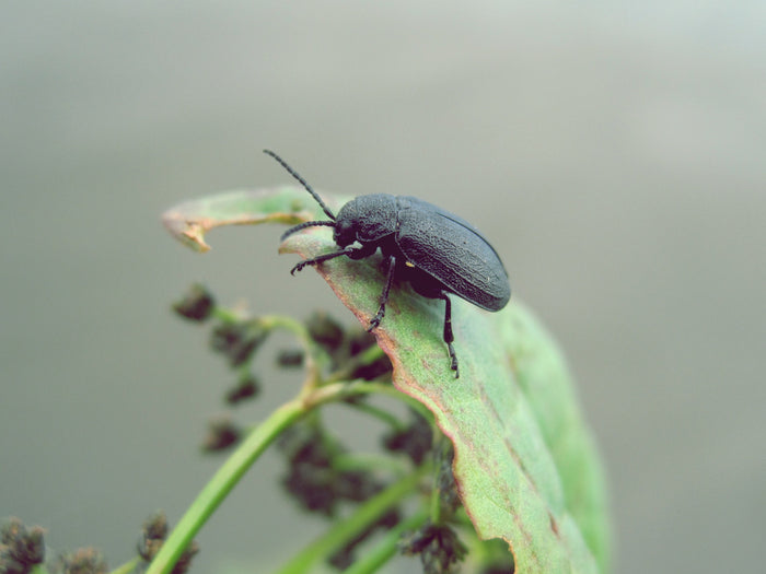 Threats to your garden. The unpleasant truth about mildew and beetles