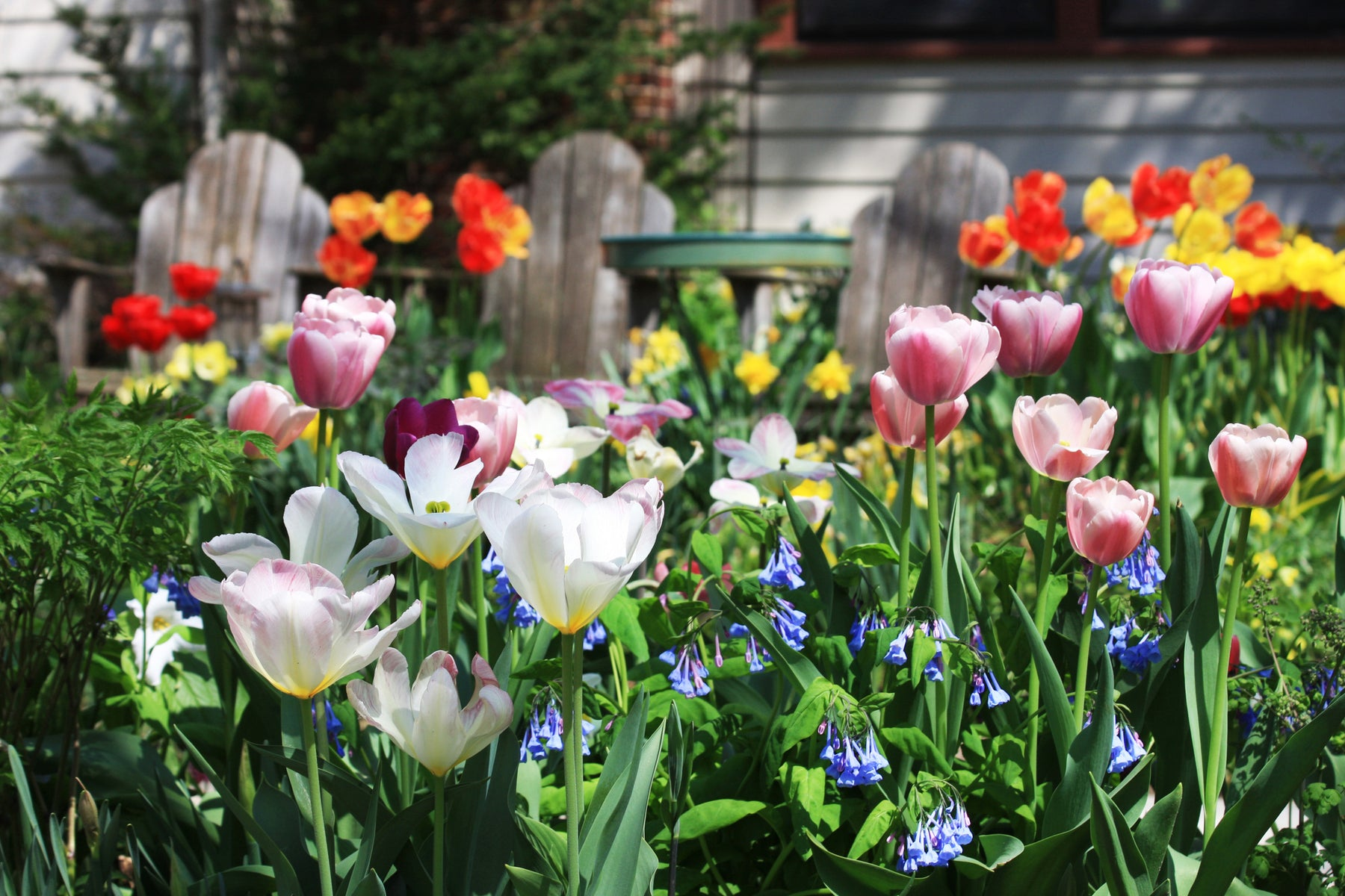 Your Tulip Care Guide: How to Care for Tulips