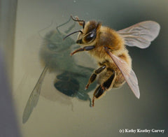 A honey bee casting a shadow on a windshield. Photo Kathy Keatley Garvey