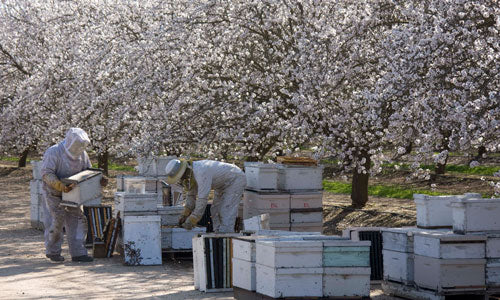 Bill's Bees go to almond pollination.