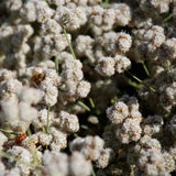 California Buckwheat