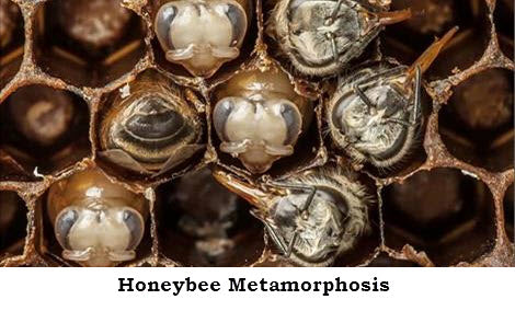 Honeybee Metamorphosis - National Geographic