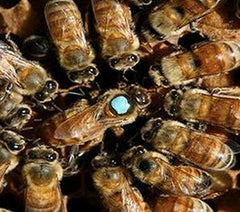 Italian Queen Bees For Sale