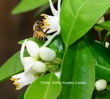 Orange Blossom with Honey Bee
