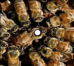 Bill's Bees Queen Bees