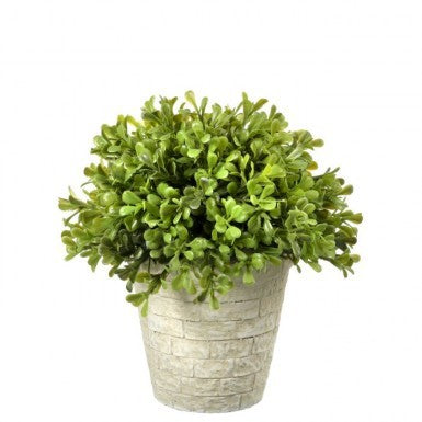 Plant - Boxwood Dome Topiary