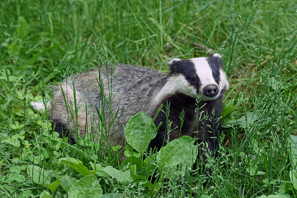 A Guide To British Fauna - The European Badger
