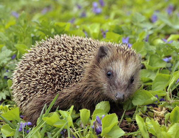 The European Hedgehog - A guide to British fauna