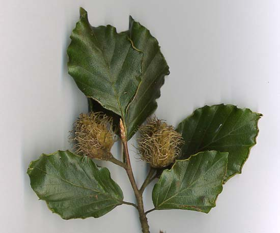 "Wild Edible Of The Week - Week 29 - ""Beech"""