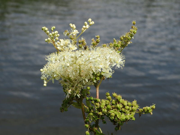 Wild Plant of The Week 57 - Meadowsweet