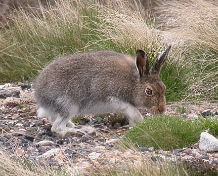 A Guide To British Fauna - The Mountain Hare