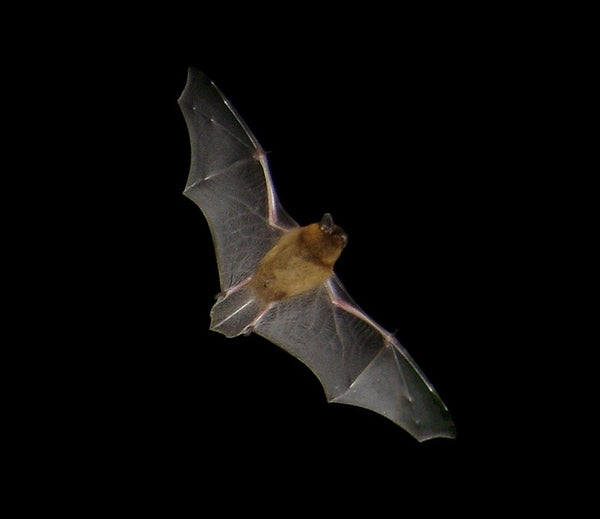 A Guide To British Fauna - The Common Pipistrelle
