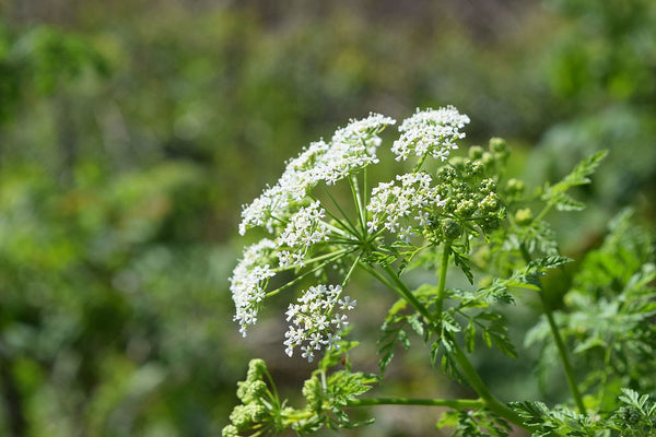 WIld Plant Of The Week 4 - Poison Hemlock
