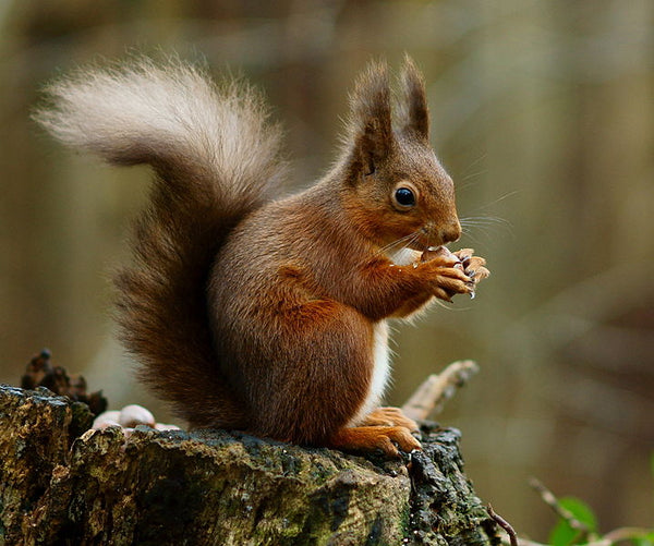 The Red Squirrel - A guide to british fauna