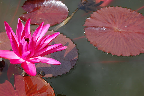 Water Lily Variations