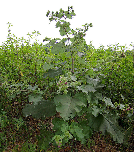 Burdock Wild Edible Foraging UK