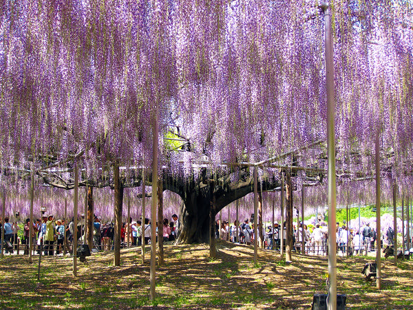 Japan's Largest and Oldest Wisteria