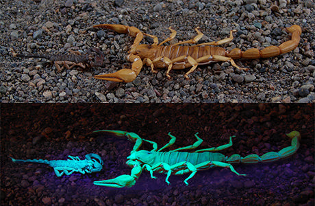 Photon Scorpion Finder - UV Flashlight