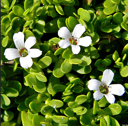 tranceplants bacopa monnieri brahmi extract powder 20 bacosides tranceplants sacred. Black Bedroom Furniture Sets. Home Design Ideas