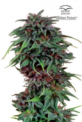Durban Poison Fem - Feminised, Dutch Passion, Cannabis Seeds, Marijuana Seeds, Weed Seeds