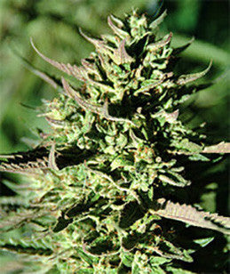 Grapefruit Kush - RF, Emerald Triangle, Cannabis Seeds, Marijuana Seeds, Weed Seeds