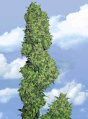 Dame Blanche - Feminised, Flying Dutchmen, Cannabis Seeds, Marijuana Seeds, Weed Seeds