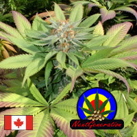 Blueberry Punch - Regular, Next Generation, Cannabis Seeds, Marijuana Seeds, Weed Seeds