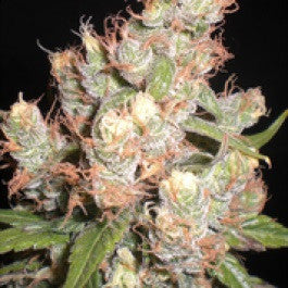 Gangster OG - Regular, Hazeman Seeds, Cannabis Seeds, Marijuana Seeds, Weed Seeds