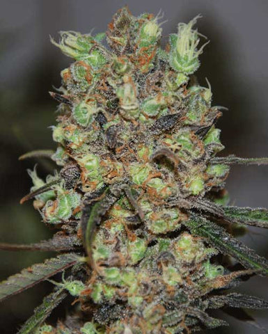 Purple Paralysis - Feminised, Cream Of The Crop, Cannabis Seeds, Marijuana Seeds, Weed Seeds