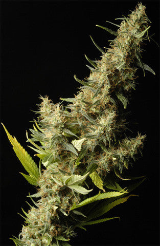 Southern Lights (White Star) - Regular, Delta 9 Labs, Cannabis Seeds, Marijuana Seeds, Weed Seeds