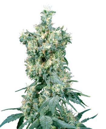 American Dream - Regular, Sensi Seed Bank, Cannabis Seeds, Marijuana Seeds, Weed Seeds