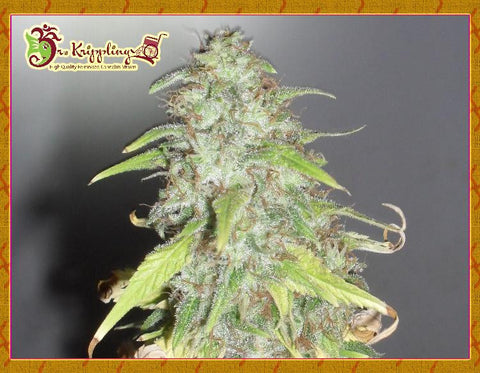 Kripple Shock - Feminised, Dr Krippling, Cannabis Seeds, Marijuana Seeds, Weed Seeds