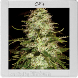 CR + - Feminised, Blim Burn, Cannabis Seeds, Marijuana Seeds, Weed Seeds