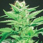 Widow Warrior - Regular, De Sjamaan Seeds, Cannabis Seeds, Marijuana Seeds, Weed Seeds