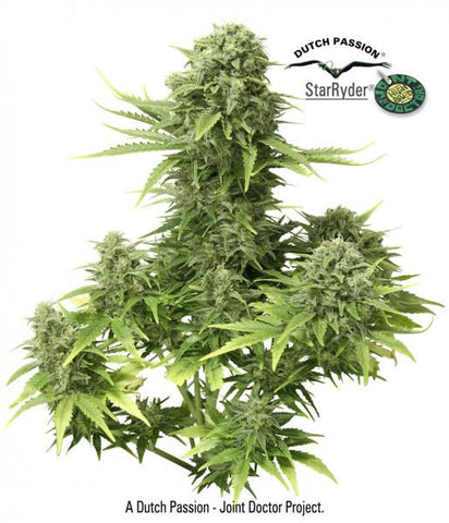 StarRyder - Feminised, Dutch Passion, Cannabis Seeds, Marijuana Seeds, Weed Seeds